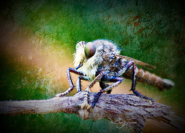 Photograph - Bearded Robber Fly by Barry Jones