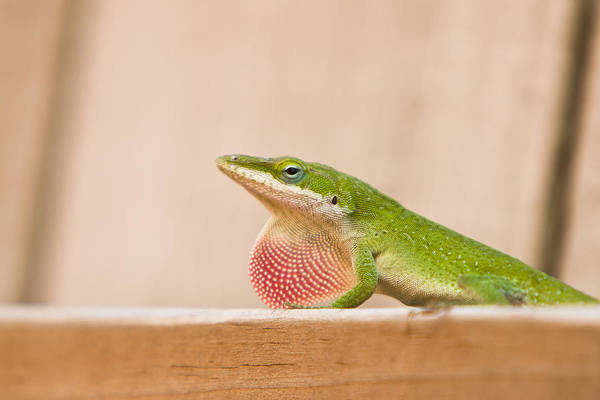 Wall Art - Photograph - Beautiful Carolina Anole by Ellie Teramoto