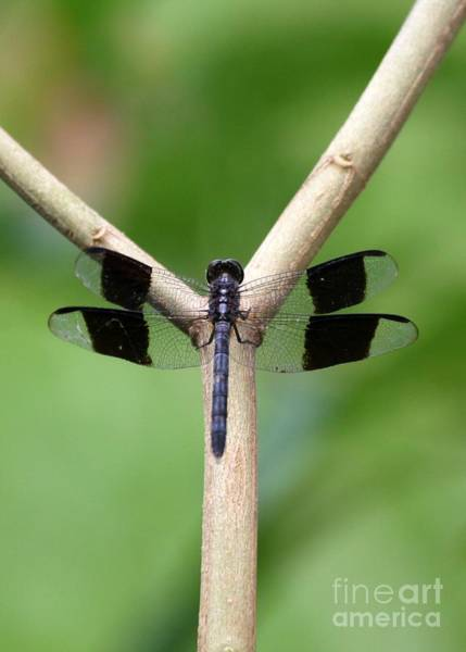 Photograph - Beautiful Dragonfly by Sabrina L Ryan