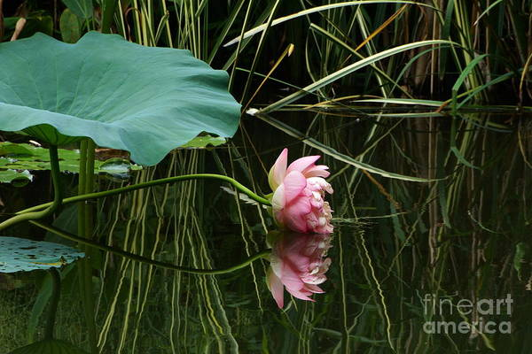 Photograph - Beautiful Fallen Lotus by Byron Varvarigos