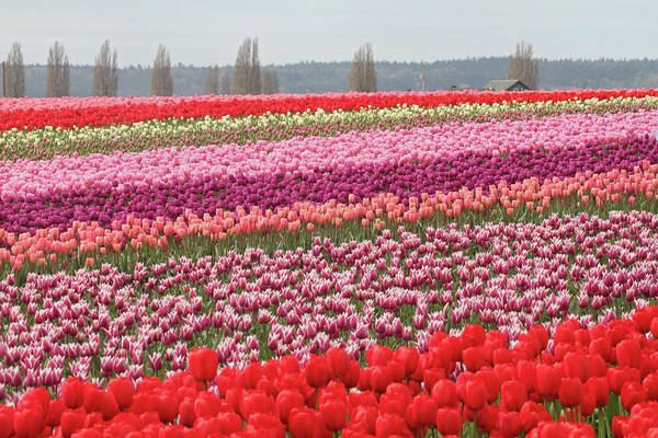 Photograph - Beautiful Field Of Tulips In Mount Vernon Washington by Pierre Leclerc Photography