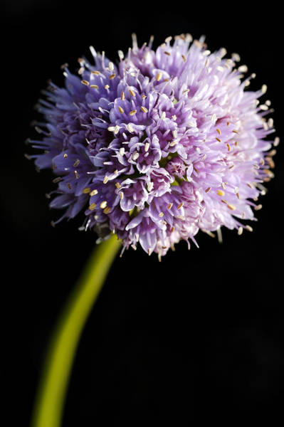 Photograph - Beautiful Purple Flower With Black Background by Matthias Hauser