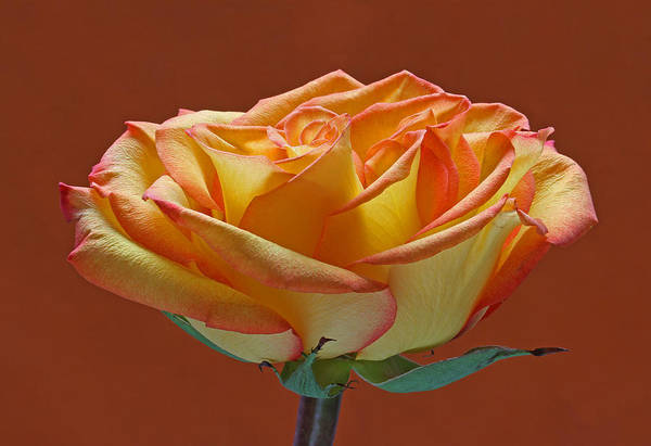 Photograph - Beautiful Rosa by Juergen Roth