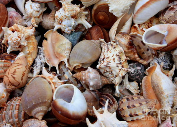 Photograph - Beautiful Seashells by Carol Groenen
