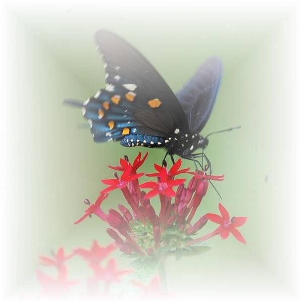 Photograph - Beauty Flies by Judy Hall-Folde