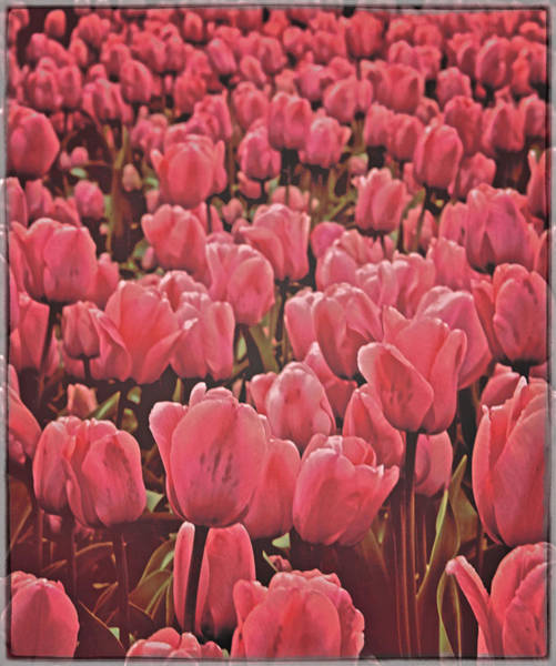 Dutch Tulip Photograph - Bedtime In Holland by Odd Jeppesen