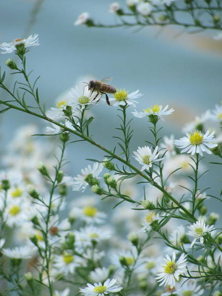 Photograph - Bee 1 by Anita Burgermeister