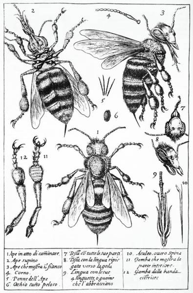 Photograph - Bee Anatomy Historical Illustration by SPL and Photo Researchers