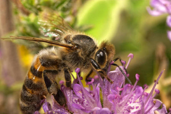 Photograph - Bee Feeding On Thyme by Paul Cowan