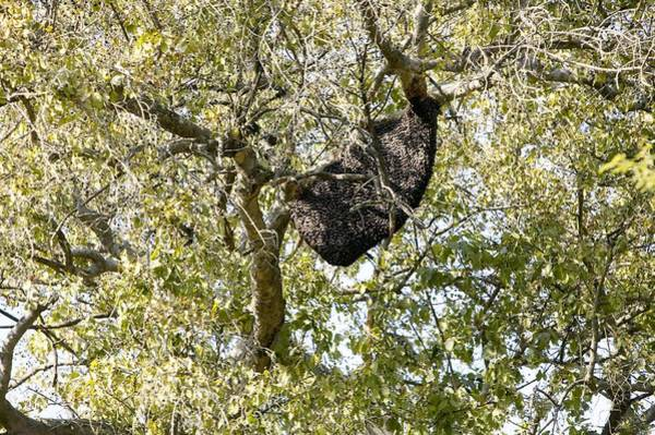 Wall Art - Photograph - Bee Hive In A Tree by Colin Cuthbert