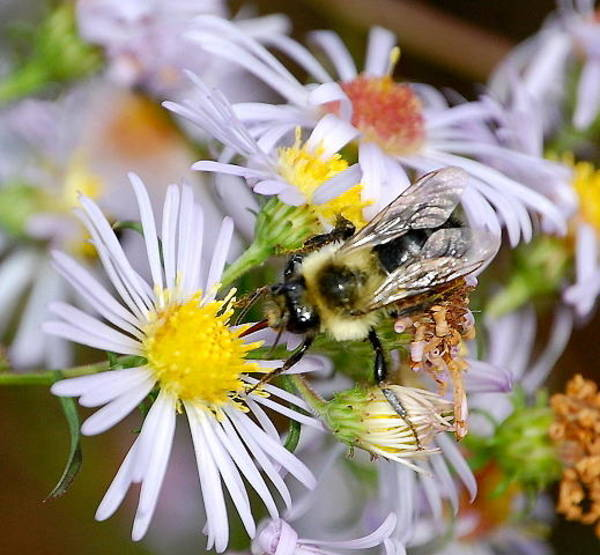 Photograph - Bee On Aster II by Mary McAvoy