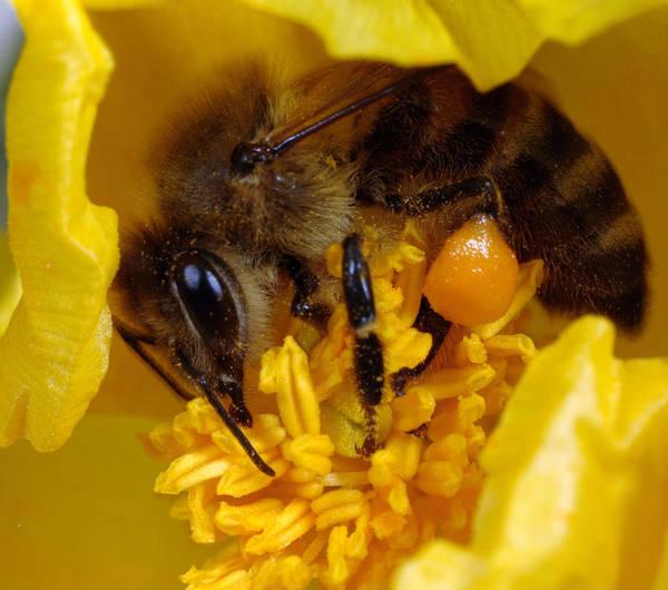 Photograph - Bee On Horned Poppy by Paul Cowan