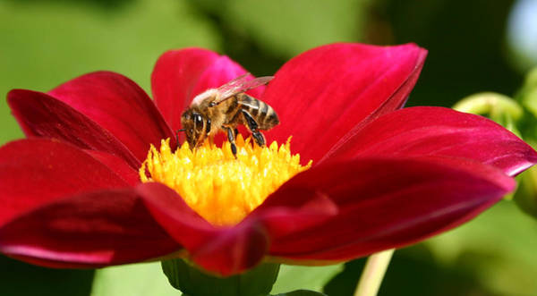 Photograph - Bee On Red Dahlia by Emanuel Tanjala