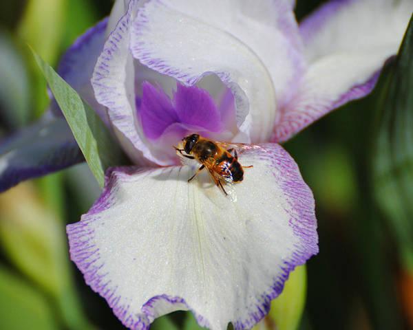 Photograph - Bee On The Iris by Jai Johnson
