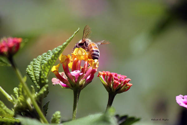 Photograph - Bee Sweet 2 by Deborah Hughes