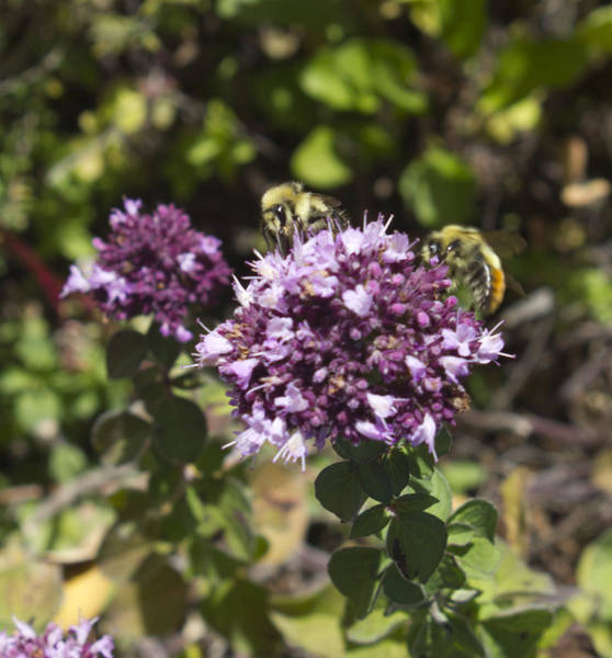 Photograph - Bees On Thyme 2 by Donna L Munro