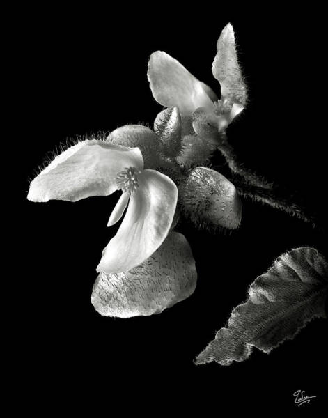 Photograph - Begonia In Black And White by Endre Balogh