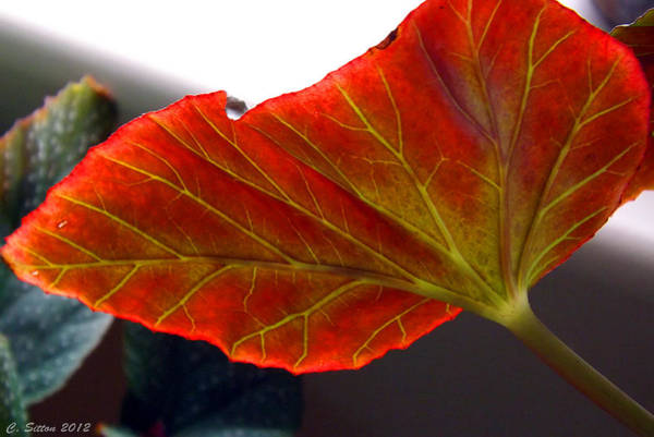 Photograph - Begonia Leaf by C Sitton