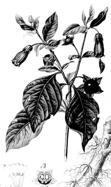 Crone Wall Art - Photograph - Belladonna, Alchemy Plant by Science Source