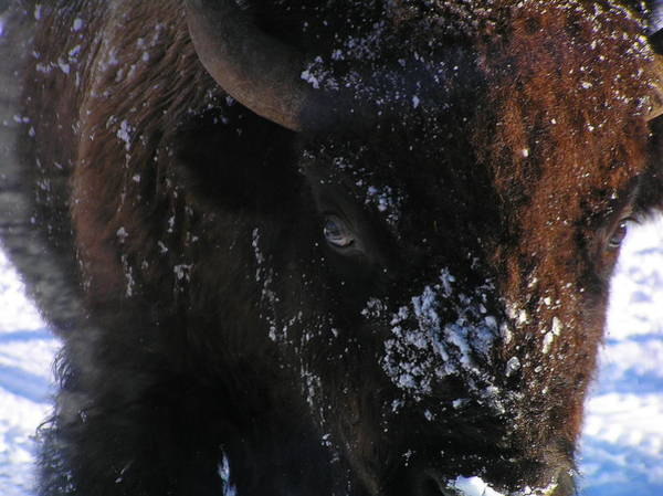 Photograph - Belligerent Bison by Pat Moore