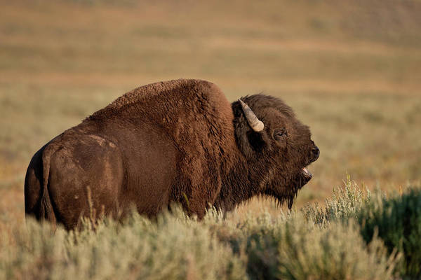 Photograph - Bellowing Bull Bison by D Robert Franz