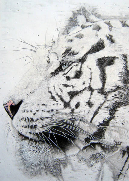 Bengal Tiger Drawing - Bengala by Mayhem Mediums