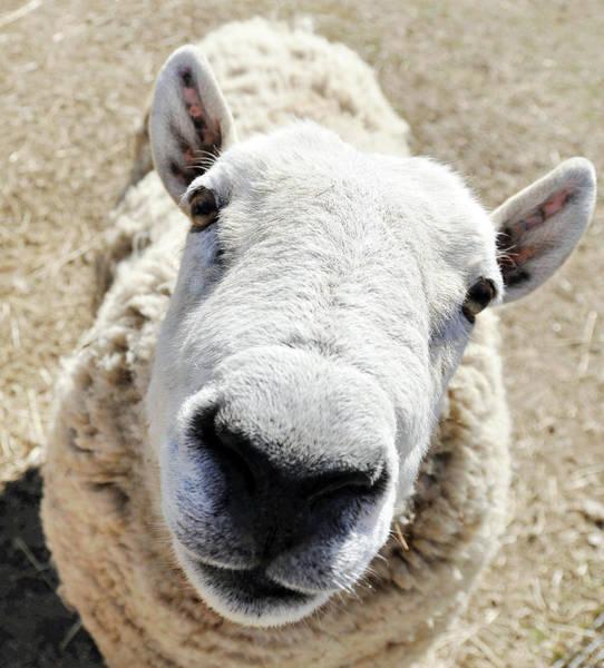 Benny The Sheep Art Print