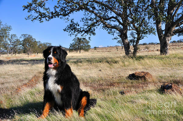Bernese Mountain Dog In California Chaparral Art Print