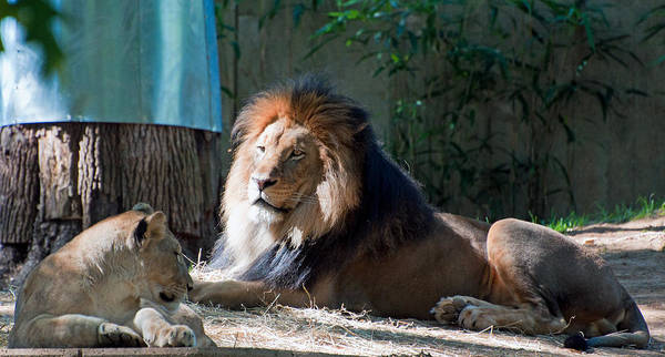 Photograph - Beside The Lion King by Donna Proctor