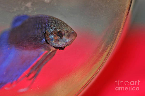 Fish Tank Photograph - Beta by Joann Vitali