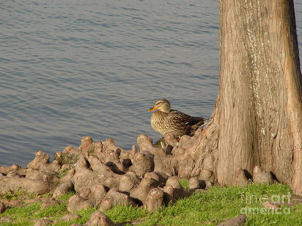 Photograph - Bethany Lakes Duck by Jerry Bunger