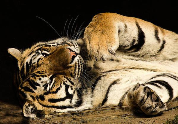Photograph - Big Cat by Jean Noren