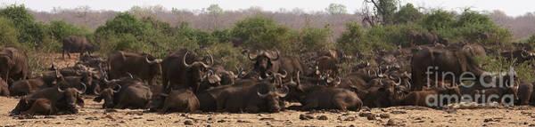 Photograph - Big Herd Of Buffalos by Mareko Marciniak