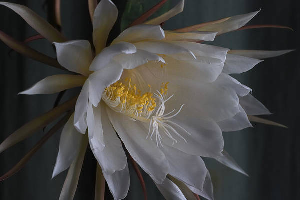 Cactus Flower Photograph - Big Night Out by Susan Capuano