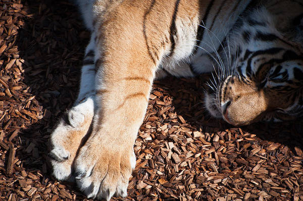 Photograph - Big Paws by Colleen Coccia