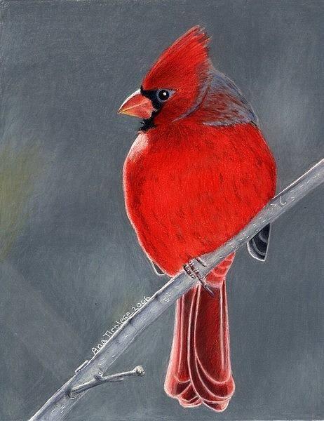 Red Cardinal Drawing - Big Red Northern Cardinal by Ana Tirolese