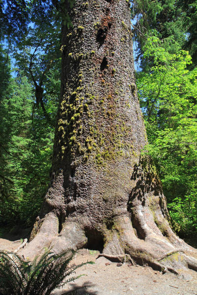 Photograph - Big Sitka Spruce Tree In The Hoh Rain Forest Of Olympic National Park by Pierre Leclerc Photography