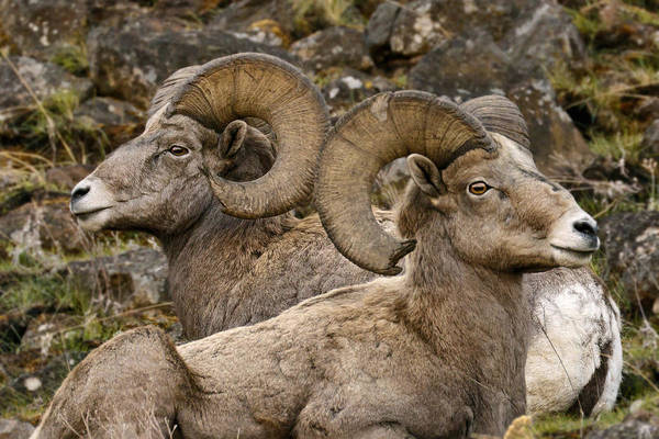 Photograph - Biggs Rams by Wes and Dotty Weber