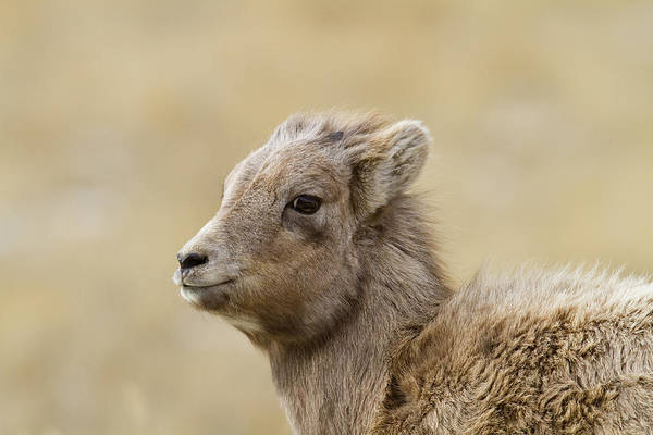 Wall Art - Photograph - Bighorn Sheep North America by Mmphotos