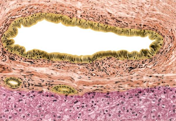 Common Bile Duct Photograph - Bile Duct, Light Micrograph by Steve Gschmeissner