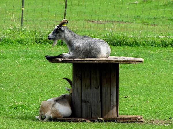 Photograph - Billy Goats Relaxing by Ms Judi