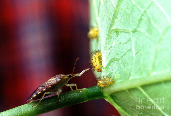 Mexican Bean Beetle Photograph - Biocontrol Of Bean Beetle by Science Source