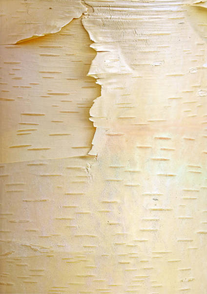 Photograph - Birch Betula Sp Close Up Of Tree Trunk by Tim Fitzharris