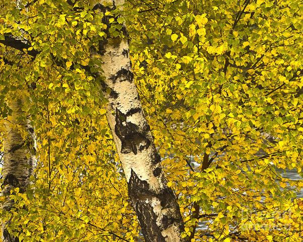 Photograph - Birch Forest In Finland by Heiko Koehrer-Wagner