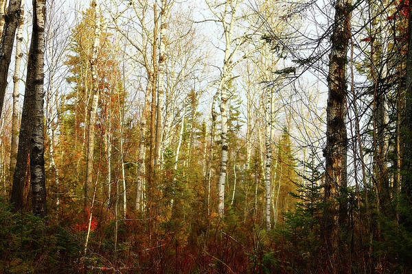 Photograph - Birch Forest by Scott Hovind