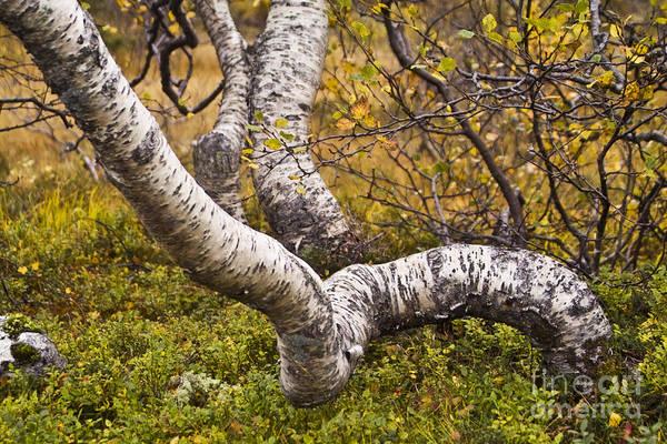 Photograph - Birch Trees In Autumn Foliage by Heiko Koehrer-Wagner