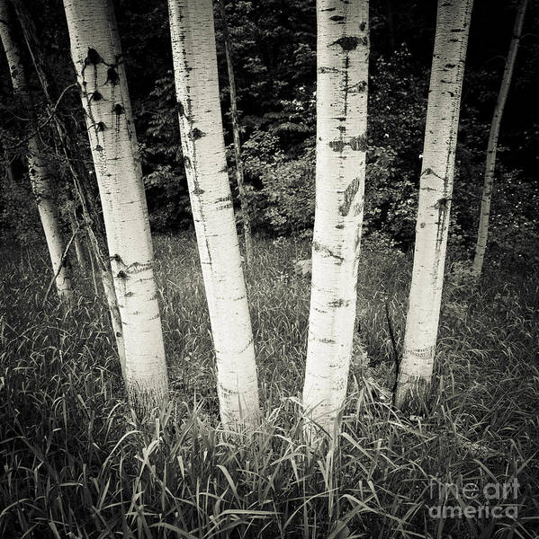 Photograph - Birch Trees by RicharD Murphy
