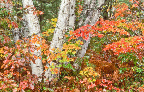 Photograph - Birches Up Of Michigan by Tom and Pat Cory