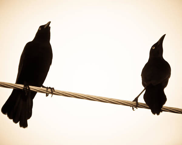 Photograph - Birds In Black by Daniel Marcion