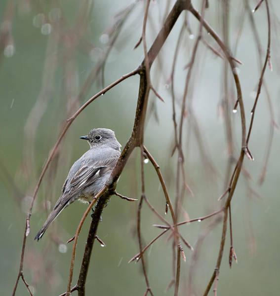 Bird Watcher Photograph - Birds Of Bc - No. 23 - Townsends Solitaire - Myadestes Townsendi by Paul W Sharpe Aka Wizard of Wonders